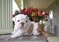 English bull pui de câine pui pentru adoptarea