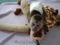 Maimuțe capucin drăguț și adorabil pentru adoptare